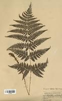 Dryopteris dilatata (Dryopteridaceae)