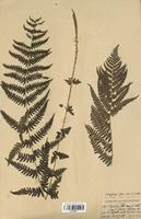 Dryopteris filix-mas (Dryopteridaceae)