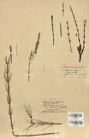 Equisetum hyemale (Equisetaceae)