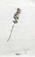 Equisetum arvense (Equisetaceae)