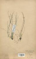 Equisetum ramosissimum (Equisetaceae)