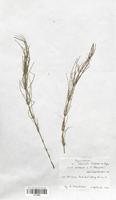 Equisetum x litorale (Equisetaceae)