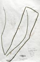 Equisetum x moovei (Equisetaceae)