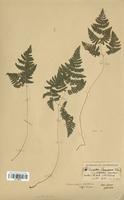 Gymnocarpium robertanianum (Cystopteridaceae)