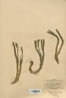 Huperzia selago (Lycopodiaceae)