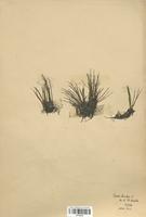 https://bibliotheque-virtuelle.bu.uca.fr/files/fichiers_bcu/Isoetaceae_Isoetes_lacustris_CLF120012.jpg
