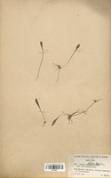 Isoetes histrix (Isoetaceae)