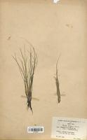 Isoetes variabilis (Isoetaceae)