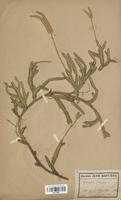 Lycopodium clavatum (Lycopodiaceae)