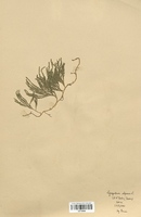 Lycopodium alpinum (Lycopodiaceae)