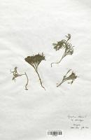 https://bibliotheque-virtuelle.bu.uca.fr/files/fichiers_bcu/Lycopodiaceae_Lycopodium_alpinum_CLF120007.jpg