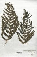Oreopteris limbosperma (Thelyperidaceae)