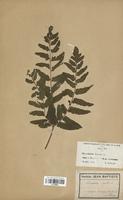 Osmunda regalis (Osmundaceae)