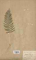 Polypodium cambricum (Polypodiaceae)