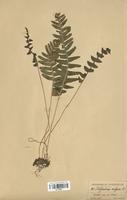 Polypodium vulgare (Polypodiaceae)
