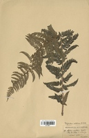 Polystichum aculeatum (Dryopteridaceae)