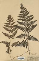 Polystichum setiferum (Dryopteridaceae)