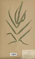 Pteris cretica (Pteridaceae)
