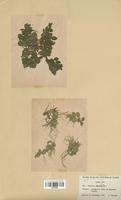 Salvinia natans (Salviniaceae)