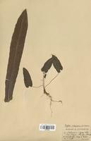 Scolopendrium vulgare (Aspleniaceae)