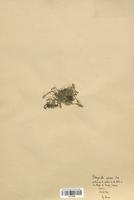 Selaginella spinosa (Selaginellaceae)
