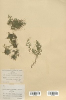https://bibliotheque-virtuelle.bu.uca.fr/files/fichiers_bcu/Selaginellaceae_Selaginella_denticulata_CLF120095.jpg