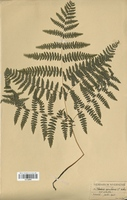 Pteridium aquilinum (Pteridaceae)
