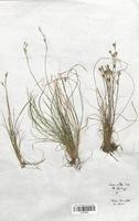 Carex alba (Cyperaceae)