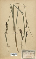Carex acutiformus (Cyperaceae)