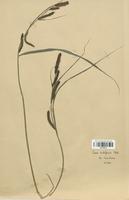 https://bibliotheque-virtuelle.bu.uca.fr/files/fichiers_bcu/Cyperaceae_Carex_acutiformus_CLF120272.jpg