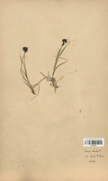 https://bibliotheque-virtuelle.bu.uca.fr/files/fichiers_bcu/Cyperaceae_Carex_atrata_CLF120181.jpg