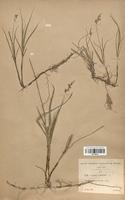Carex arenaria (Cyperaceae)