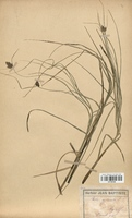 Carex cyperoides (Cyperaceae)