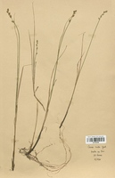 https://bibliotheque-virtuelle.bu.uca.fr/files/fichiers_bcu/Cyperaceae_Carex_curta_CLF120183.jpg