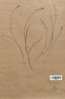 https://bibliotheque-virtuelle.bu.uca.fr/files/fichiers_bcu/Cyperaceae_Carex_curta_CLF120185.jpg