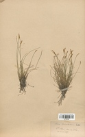 https://bibliotheque-virtuelle.bu.uca.fr/files/fichiers_bcu/Cyperaceae_Carex_davalliana_CLF120196.jpg