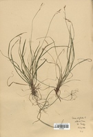 https://bibliotheque-virtuelle.bu.uca.fr/files/fichiers_bcu/Cyperaceae_Carex_digitata_CLF120224.jpg
