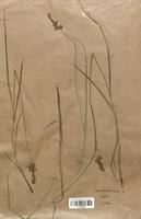 https://bibliotheque-virtuelle.bu.uca.fr/files/fichiers_bcu/Cyperaceae_Carex_disticha_CLF120209.jpg