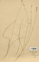https://bibliotheque-virtuelle.bu.uca.fr/files/fichiers_bcu/Cyperaceae_Carex_echinata_CLF120191.jpg