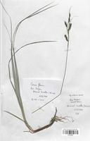 https://bibliotheque-virtuelle.bu.uca.fr/files/fichiers_bcu/Cyperaceae_Carex_flacca_CLF120227.jpg