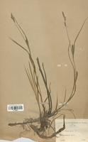 https://bibliotheque-virtuelle.bu.uca.fr/files/fichiers_bcu/Cyperaceae_Carex_hirta_CLF120261.jpg
