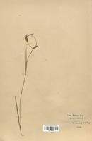 https://bibliotheque-virtuelle.bu.uca.fr/files/fichiers_bcu/Cyperaceae_Carex_hostiana_CLF120236.jpg
