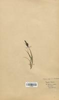 https://bibliotheque-virtuelle.bu.uca.fr/files/fichiers_bcu/Cyperaceae_Carex_nigra_CLF120240.jpg