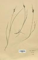 https://bibliotheque-virtuelle.bu.uca.fr/files/fichiers_bcu/Cyperaceae_Carex_pallescens_CLF120242.jpg