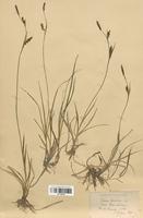 https://bibliotheque-virtuelle.bu.uca.fr/files/fichiers_bcu/Cyperaceae_Carex_panicea_CLF120246.jpg