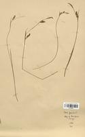 https://bibliotheque-virtuelle.bu.uca.fr/files/fichiers_bcu/Cyperaceae_Carex_panicea_CLF120244.jpg