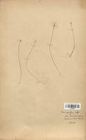 https://bibliotheque-virtuelle.bu.uca.fr/files/fichiers_bcu/Cyperaceae_Carex_pauciflora_CLF120192.jpg