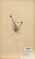 https://bibliotheque-virtuelle.bu.uca.fr/files/fichiers_bcu/Cyperaceae_Carex_parviflora_CLF120180.jpg