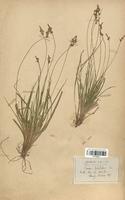https://bibliotheque-virtuelle.bu.uca.fr/files/fichiers_bcu/Cyperaceae_Carex_pilulifera_CLF120231.jpg