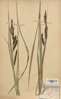 https://bibliotheque-virtuelle.bu.uca.fr/files/fichiers_bcu/Cyperaceae_Carex_riparia_CLF120270.jpg